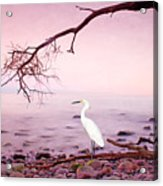 Snowy Egret Solitude Acrylic Print