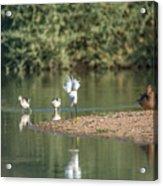 Snowy Egret Stretch 4280-080917-1 Acrylic Print