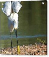 Snowy Egret Stretch 4280-080917-3cr Acrylic Print