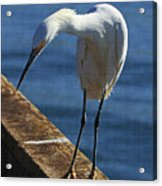Snowy Egret That Minnow Will Be Fine Acrylic Print