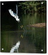 Snowy Egrets 080917-4290-1 Acrylic Print