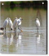 Snowy Egrets On Calm Water Acrylic Print