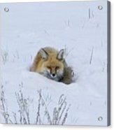 Snowy Fox Acrylic Print