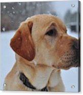 Snowy Golden Lab Acrylic Print