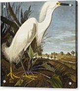 Snowy Heron Acrylic Print