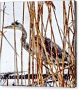Snowy Heron? Acrylic Print