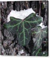 Snowy Ivy Acrylic Print