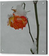 Snowy Orange Rose Acrylic Print