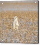 Snowy Owl 2016-4 Acrylic Print