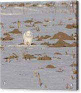 Snowy Owl 2016-9 Acrylic Print