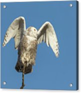 Snowy Owl 2018-17 Acrylic Print