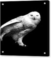 Snowy Owl Acrylic Print by Malcolm MacGregor
