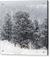 Snowy Pines In The Pike National Forest Acrylic Print