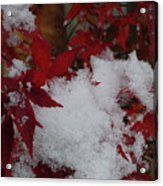 Snowy Red Maple Acrylic Print