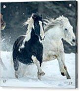 Snowy Run Acrylic Print