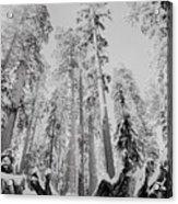 Snowy Sequoias At Calaveras Big Tree State Park Black And White 3 Acrylic Print