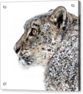 Snowy Snow Leopard Acrylic Print
