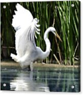 Snowy White Egret In The Wetlands Acrylic Print