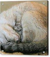 Snugglepuss Acrylic Print