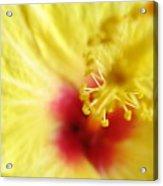 So Sweet In Yellow Acrylic Print