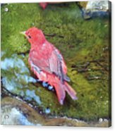 Soaking Summer Tanager Acrylic Print