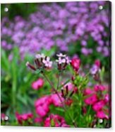 Soapwort And Pinks Acrylic Print