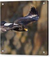 Soaring Black Eagle Acrylic Print