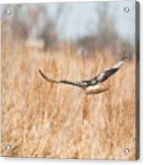 Soaring Hawk Over Field Acrylic Print