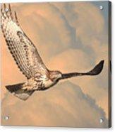 Soaring Hawk Acrylic Print by Wingsdomain Art and Photography