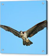 Soaring Osprey Acrylic Print