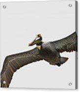 Soaring Pelican Beauty Acrylic Print