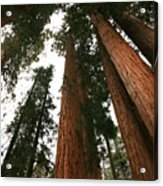 Soaring Sequoias Acrylic Print