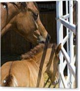 Socializing Amongst Horses Acrylic Print