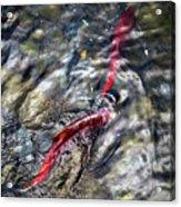 Sockeye Salmon, Alaska, August 2015 Acrylic Print