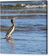 Socotra Cormorant Acrylic Print
