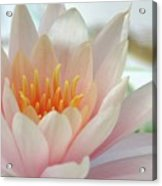 Soft And Delicate Water Lily Acrylic Print