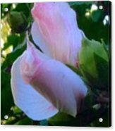 Soft And Gentle Rose Of Sharon Acrylic Print