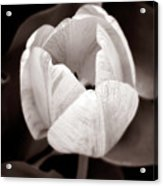 Soft And Sepia Tulip Acrylic Print