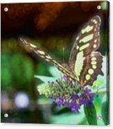 Soft Butterfly Acrylic Print