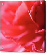 Soft Carnation Petals Acrylic Print