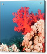 Soft Coral  Acrylic Print