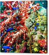 Soft Coral In Truk Acrylic Print
