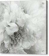 Soft Dahlia White Acrylic Print