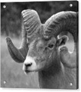 Soft Finish Ram Acrylic Print