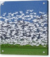 Soft Frock L525 Acrylic Print