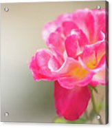 Soft As A Whisper Of A Hot Pink Rose Acrylic Print