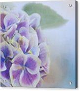 Soft Hydrangeas On Blue Acrylic Print