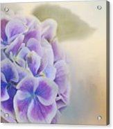 Soft Hydrangeas On Peach Acrylic Print