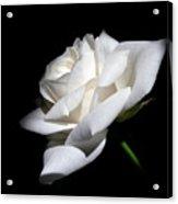 Soft Light White Rose Flower  Acrylic Print