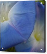 Soft Morning Glory Acrylic Print